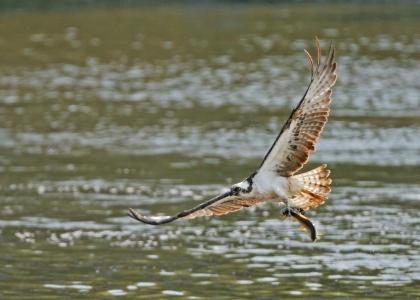 Osprey with Fish Bassenthwaite Lake